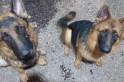 Cães que fugiram, já encontrados