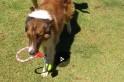 Cão da raça Cooler foge de casa