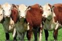 Sindicato Rural promove leilão de gado geral em Campo Erê